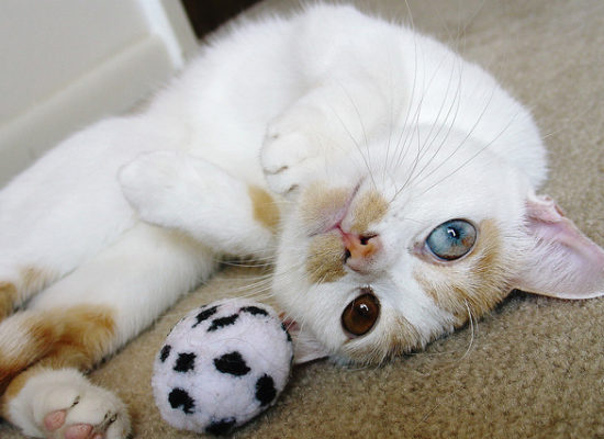 A cat with heterochromia (a blue eye and a brown eye) to show the mixing of both Agile and Waterfall methodologies